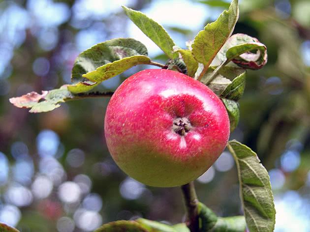 Спелое яблоко на ветке дерева
