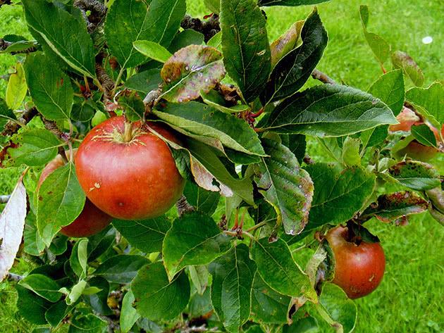 Посадка карликовой яблони и уход за ней