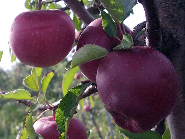 Как сажать и ухаживать за яблоней в саду