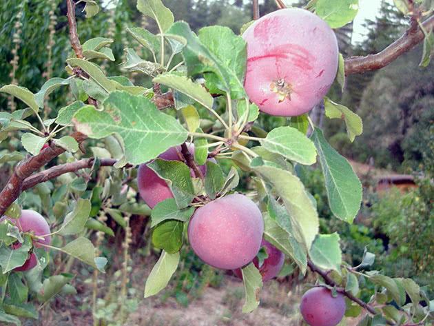 Как выращивать карликовые яблони
