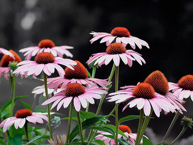 Квіти ехінацея