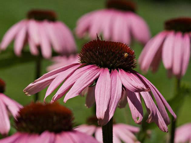 Цвітіння ехінацеї