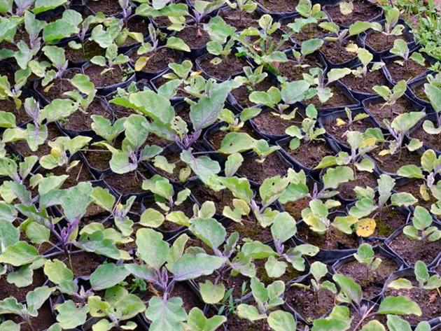 Выращивание рассады баклажанов из семян
