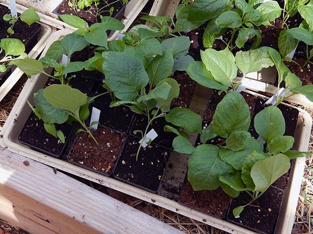 Когда сеять семена баклажанов на рассаду