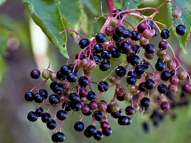 Ветка бузины с ягодами
