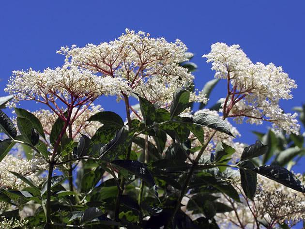 Красивое цветение бузины