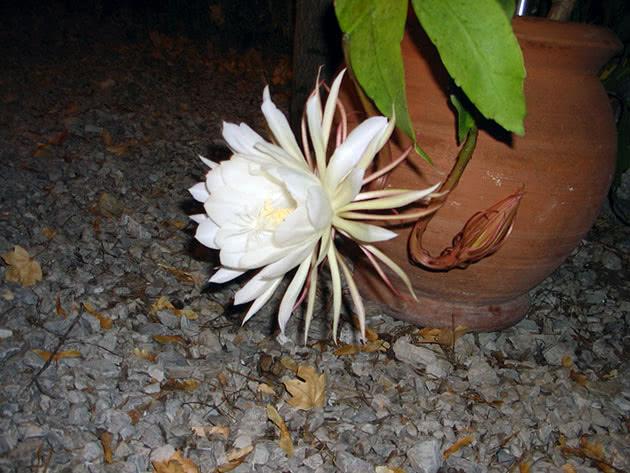 Епіфілум оксіпеталум (Epiphyllum oxypetalum)