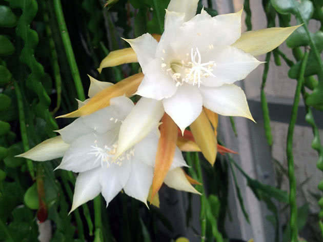 Епіфілум ангулігер (Epiphyllum anguliger)