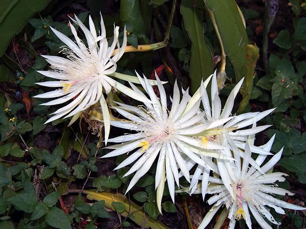 Епіфілум Хукера (Epiphyllum hookeri)