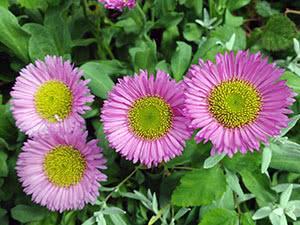 Эригерон или мелколепестник – выращивание в саду