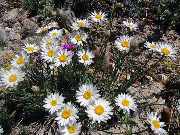Выращивание мелколепестника в саду из семян