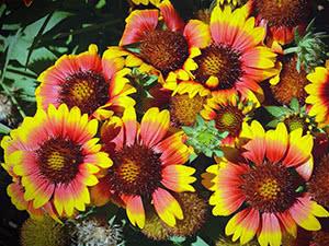 Квітка гайлардія