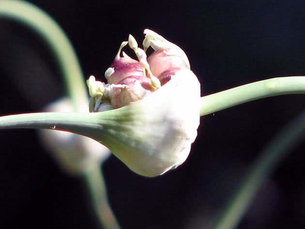 Луковицы-бульбочки чеснока