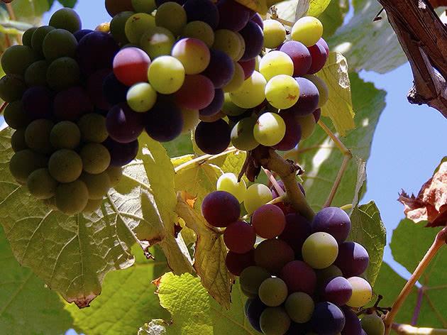 Когда виноград созреет