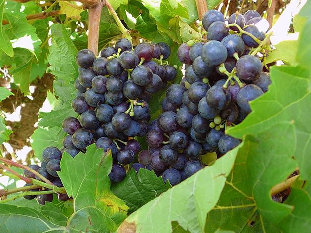 Спелый виноград на кусте