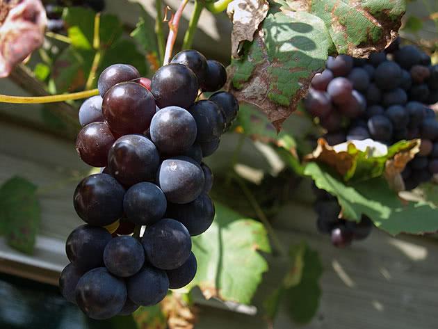 Как вырастить виноград на участке