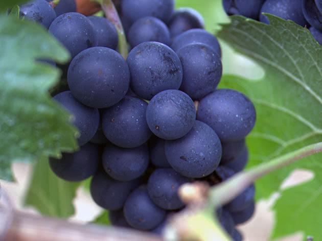Гроздь спелого винограда