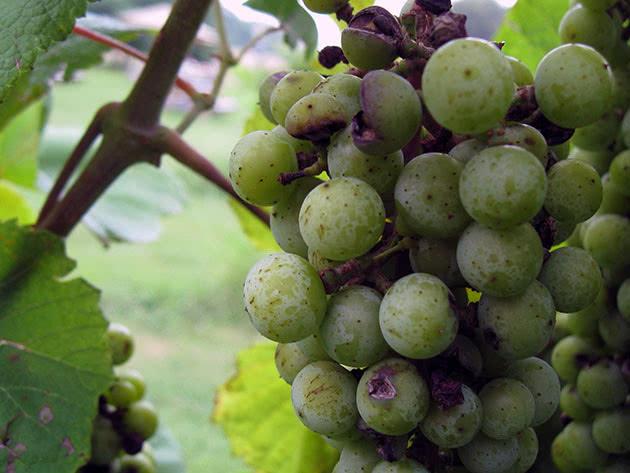 Как размножать виноград черенками и отводками