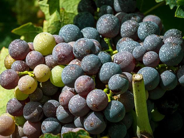 Уход за виноградом и его посадка в саду