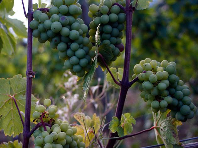 Виноградная лоза с гроздьями винограда