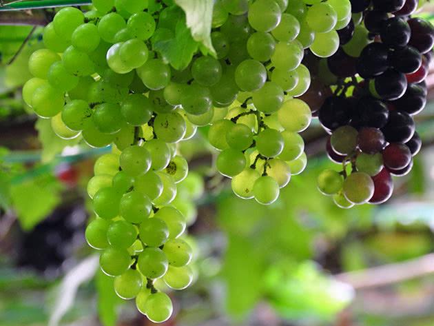 Крупные гроздья белого винограда