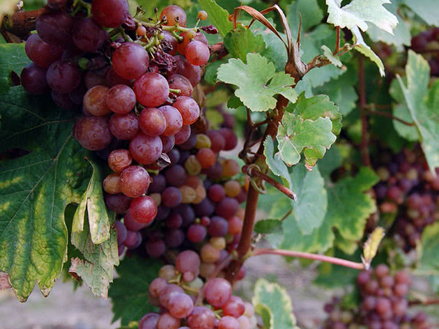 Выращивание винограда в саду