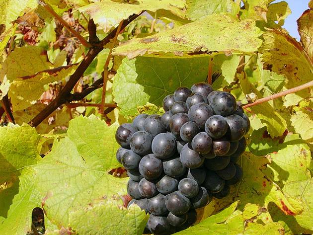 Крупная гроздь винограда на кусте