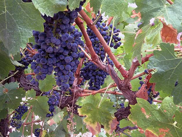 Какой уход нужен винограду на садовом участке