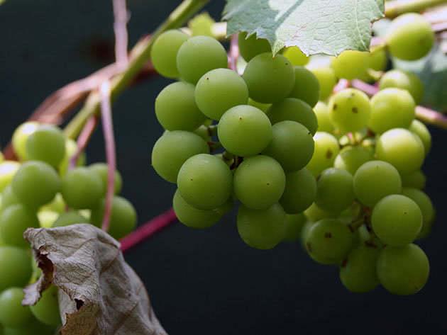 Зеленый виноград на лозе