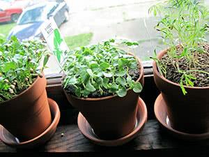Вирощування зелені на підвіконні
