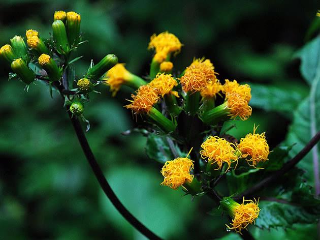 Цветение растения гинура
