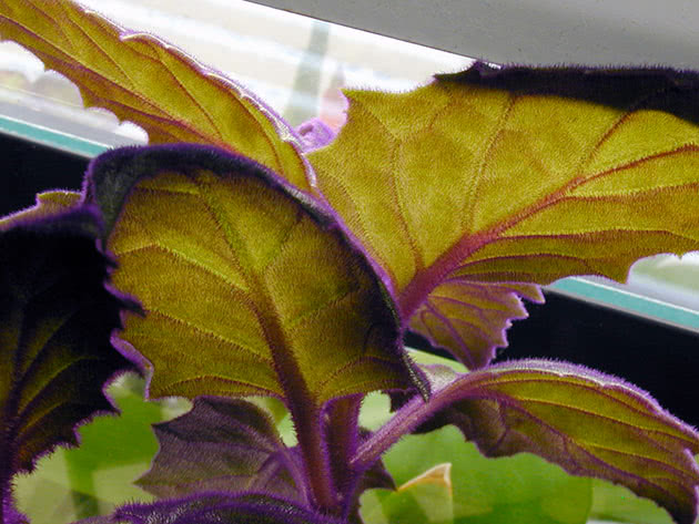 Гинура плетеносная (Gynura sarmentosa)