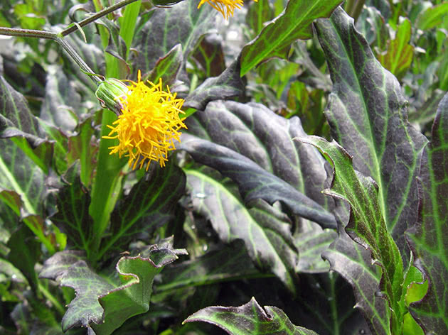 Гінура лазяча (Gynura scandens)