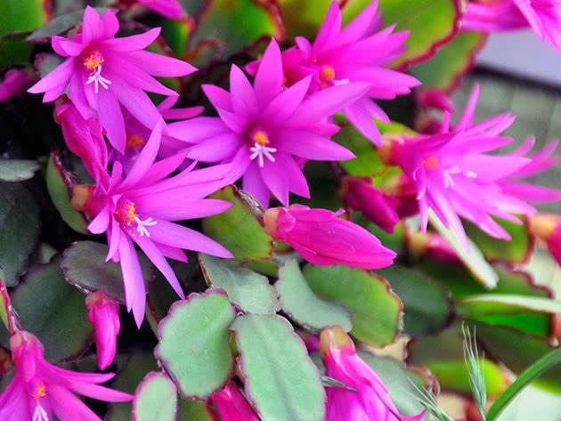 Хатіора рожева (Hatiora rosea)