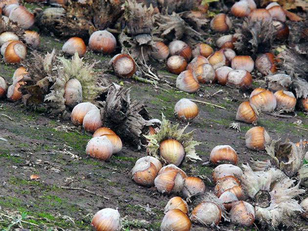 Выращивание лещины в саду