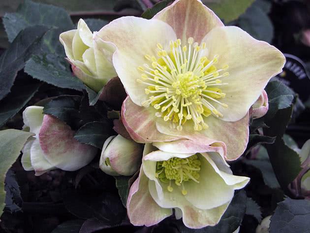 Цветы морозника