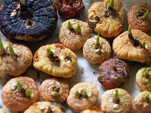 Хранение луковиц гладиолусов