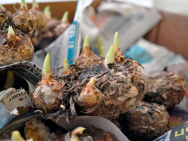 Хранение луковиц калл