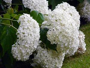 Выращивание гортензии древовидной в саду