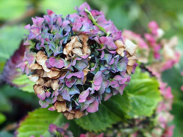 Как выращивать гортензию в саду осенью