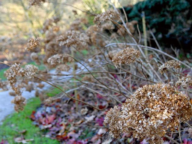 Подготовка гортензии к зиме – обрезка и укрытие