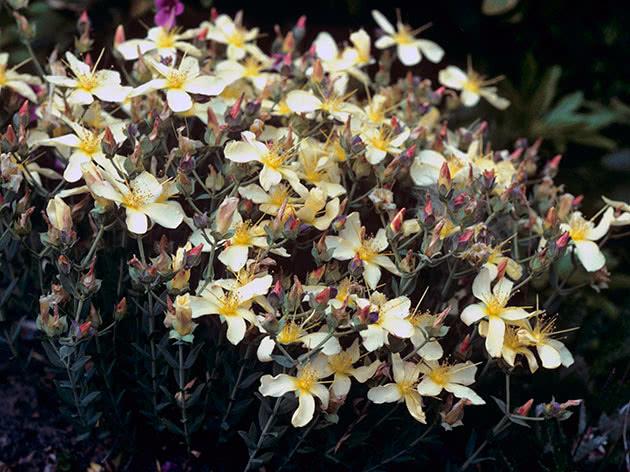 Зверобой олимпийский (Hypericum olimpicum)