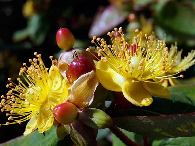 Зверобой двубратственный (Hypericum androsaemum)