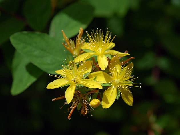 Зверобой непахнущий (Hypericum x inodorum)