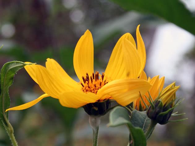 Квітка топінамбура