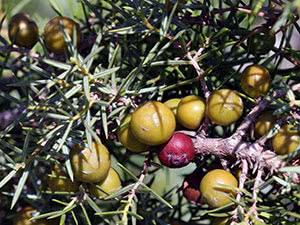 Растение можжевельник