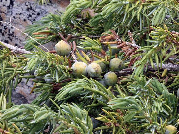 Ялівець звичайний / Juniperus communis