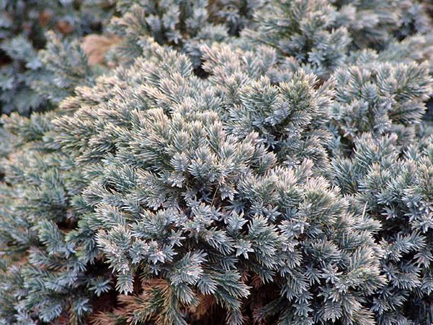 Ялівець лускатий / Juniperus squamata