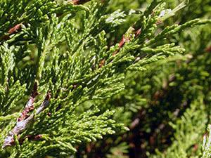 Выращивание можжевельника казацкого в саду
