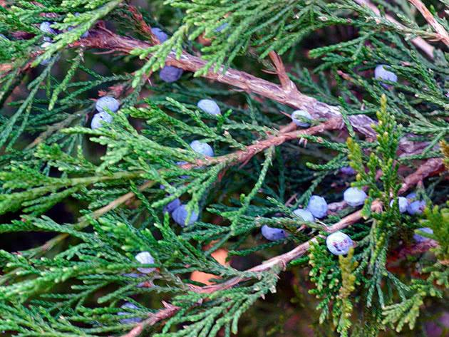 Выращивание можжевельника скального в грунте